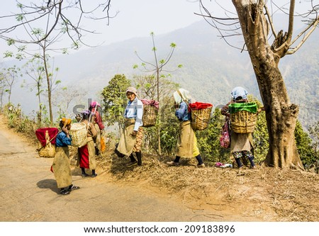 DARJEELING, INDIA - MARCH 14, 2014: tea pickers in colorful clothes are walking through a tea plantation of Darjeeling, India. - stock photo