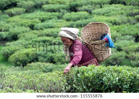 DARJEELING, INDIA - MAY 20: Women picks tea leafs on the famous Darjeeling tea garden during the monsoon season on May 20, 2011. The majority of the local population are immigrant Nepalis. INDIA - stock photo