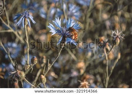 Dark background with bee and blue wild cornflowers - stock photo