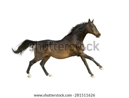 dark bay thoroughbred horse isolated on white runs free