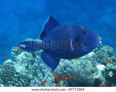 Dark blue trigger fish