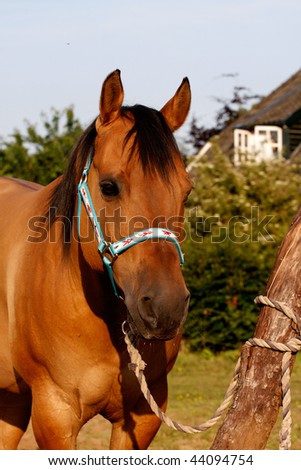 Dark Dun Quarter Horse Mare Head and shot - stock photo