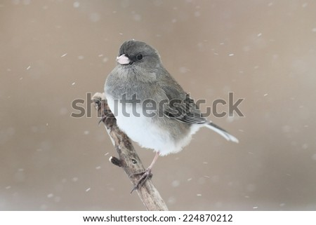 Dark-eyed Junco (junco hyemalis) on a branch in snow - stock photo