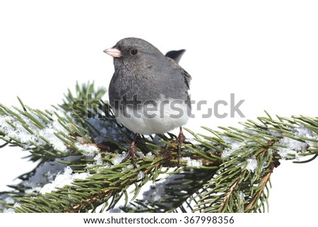 Dark-eyed Junco (junco hyemalis) on a snow-covered branch - stock photo