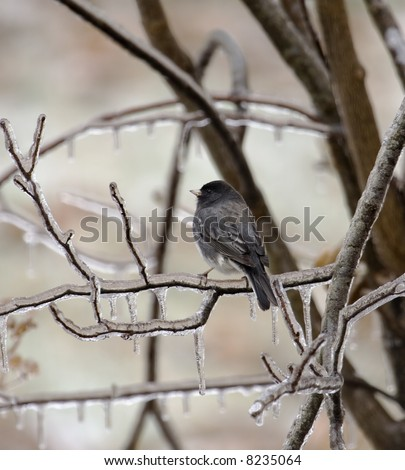 Dark-eyed junco perched on an icy tree branch - stock photo
