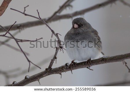 Dark-eyed Junco perched on tree in snow - stock photo