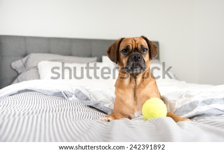 Dark Fawn Puggle Dog Laying on Owners Bed  - stock photo