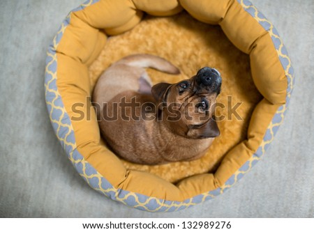 Dark Fawn Puggle Dog Missing one Leg Laying in Round Bed Looking Up - stock photo
