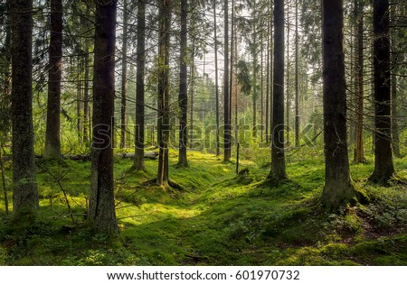 Dark forest background. Karelia forest