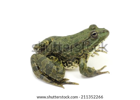 dark green green frog on a white background