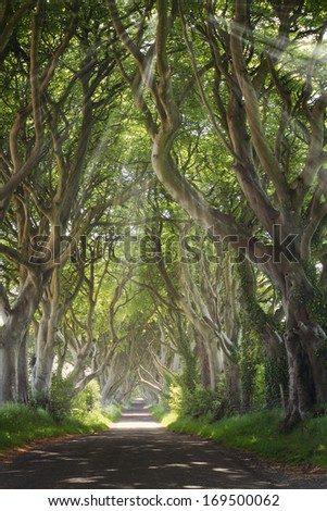 Dark Hedges with sun rays and  strange shape trees. Northern Ireland