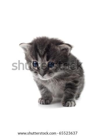 dark kitten isolated over white shallow dof - stock photo