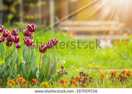 dark magenta tulip with white stripe on blurred background of colored bokeh in sun light