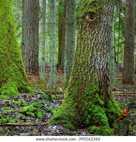 dark moss covered pine forest - stock photo