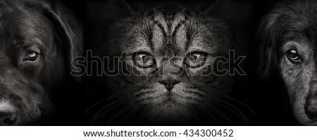 dark muzzle labrador and spaniel dog, cat Scottish closeup. front view
