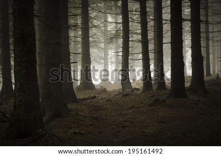 dark pine tree forest - stock photo