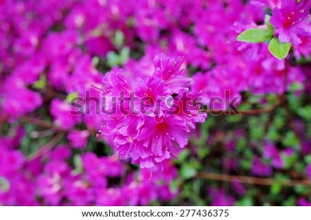Dark pink azalea flowers on bush stock photo royalty free dark pink azalea flowers on a bush in the spring garden mightylinksfo
