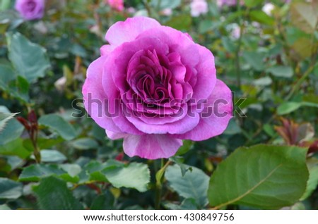 Dark pink delicate rose with green leaf background - stock photo