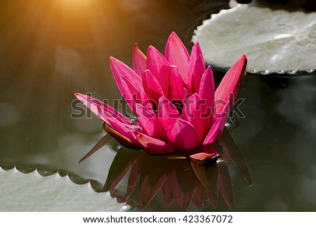 Dark pink waterlily on the water with sunlight. - stock photo