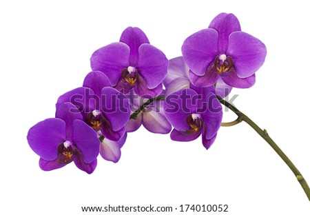 dark purple orchid on white isolated stock photo, Beautiful flower