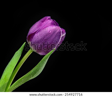 Dark Purple Tulip flower with water drops on a black background with copy space for text - stock photo