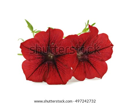 Dark red petunia flower on a white background