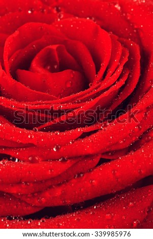 dark red rose flower closeup background, macro shot