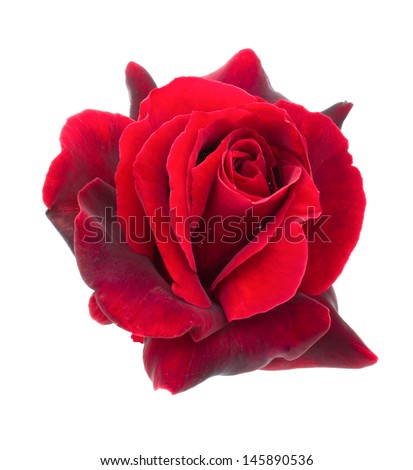 dark red rose is on a white background - stock photo