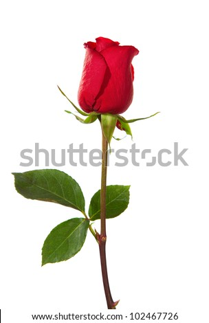 dark red rose  isolated on white - stock photo