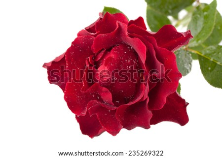 Dark red rose with drops isolated on white background