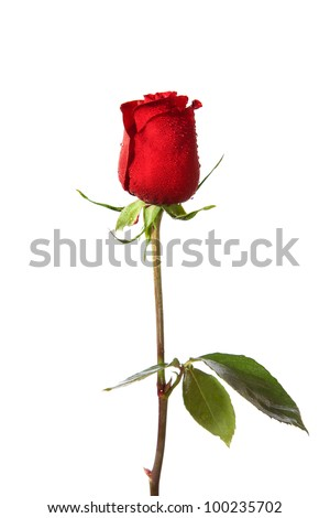 dark red rose with water drops  isolated on white - stock photo