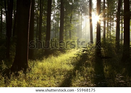 Dark spring forest with oak trees backlit by the rays of the rising sun. - stock photo