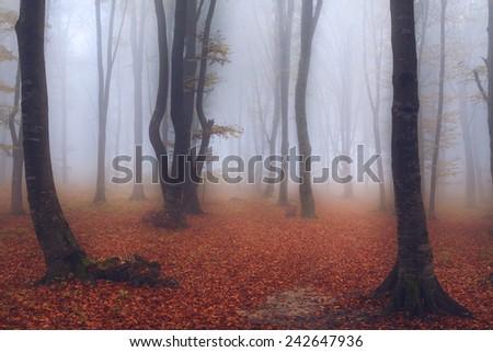 Dark trees in misty woods - stock photo