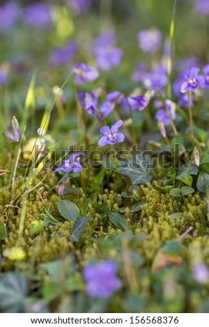 Dark violet Viola odorata an Hedera helix on foam moss - stock photo