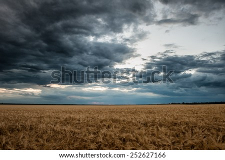 dark wheat field. Summer landscape - stock photo