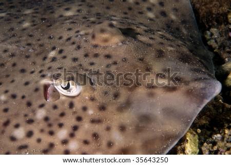 Darkspotted stingray taken in mediterranean sea - stock photo