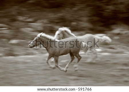 "Dashing ""wild""horses - a couple of horses playing at an Alp in Northern Italy"