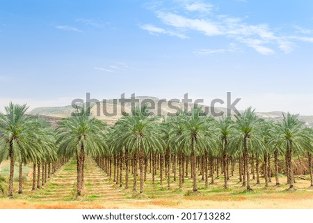 Date palm orchard plantation with high trees rows: oasis in Middle East desert against mountains and clear blue sky - stock photo