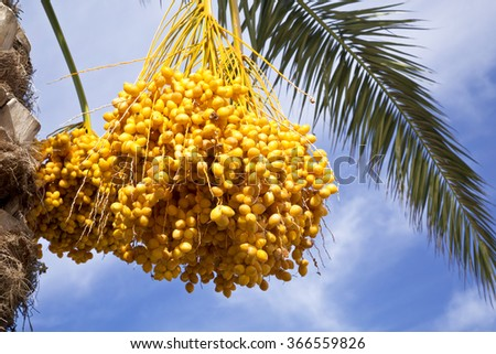 Date palm tree with dates on the background of blue sky - stock photo