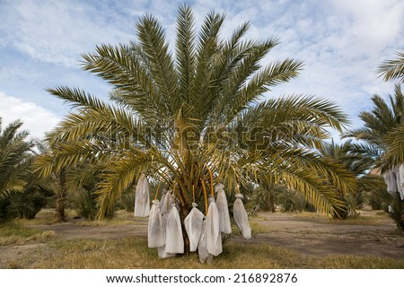 date palm tree with fruits covered up against birds - stock photo