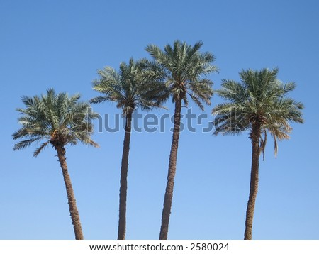 Date palm trees, Morocco