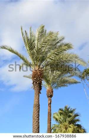 date palms - stock photo