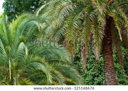 Date palms in the arboretum