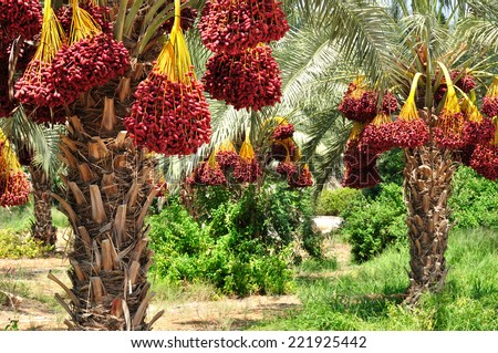 Dates palm branches with ripe dates. Northern israel.  - stock photo