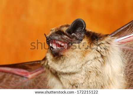 Daubenton's bat - Myotis daubentonii - stock photo