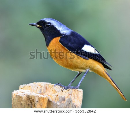 Daurian Redstart (Phoenicurus auroreus) the beuatiful bird with black face and wings silver head and orange belly perching on the log with nice blur green background - stock photo