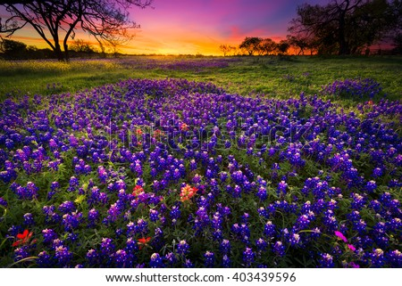 Dawn breaks over a field of bluebonnets and Indian paintbrushes near Fredericksburg, TX - stock photo