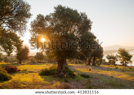 Dawn in olive garden - stock photo