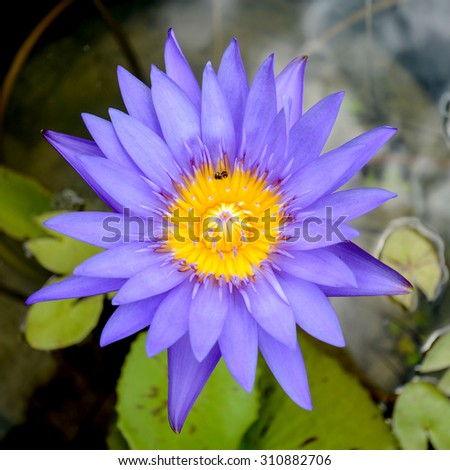 Day Blooming Tropical Waterlily Blossom in the Morning Light. - stock photo