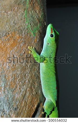 Day gecko climbing branch - stock photo
